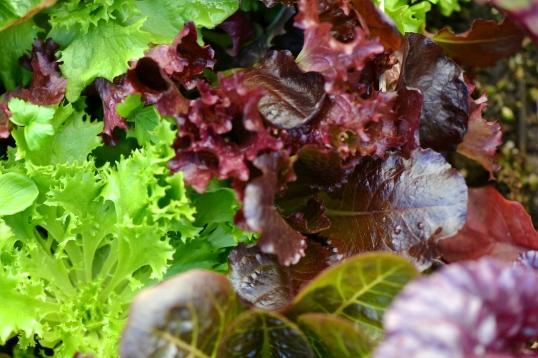 leaf lettuce mix