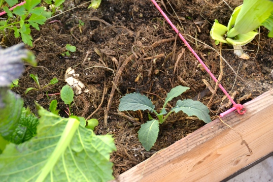 I've pulled out some of the flowering collards, especially the ones cabbage loopers took over.. and planted thinned out kale seedlings, after adding my home made compost as a mulch of course.