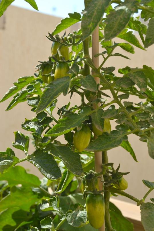 san marzanos growing through the cold